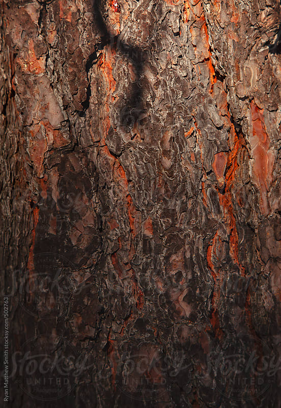 Pine Bark Texture by Ryan Matthew Smith for Stocksy United