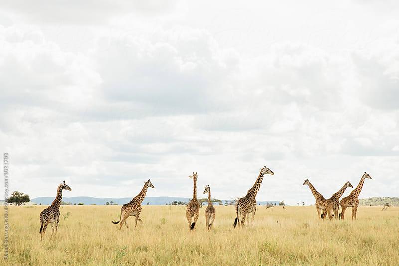 Giraffes on the Savannah by Diane Durongpisitkul for Stocksy United