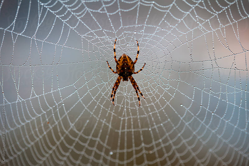 Dewy web with a large spider in the middle by Carolyn Lagattuta for Stocksy United