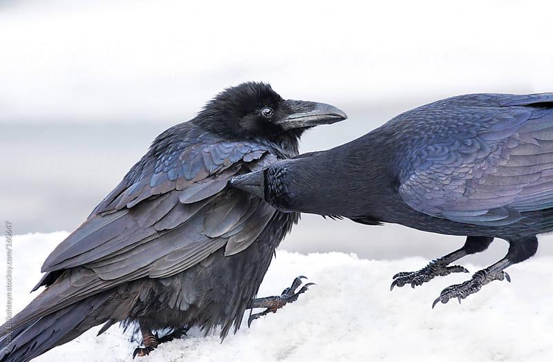 Raven pair grooming by Mihael Blikshteyn for Stocksy United