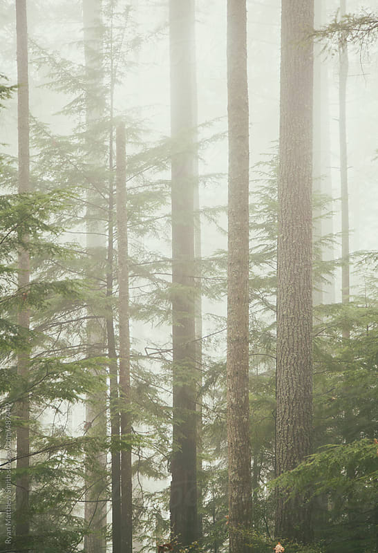 Thick Fog, PNW Forest by Ryan Matthew Smith for Stocksy United