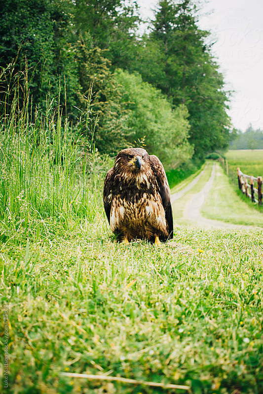 Young Adolescent Bald Eagle Standing In Field Of Grass by Luke Mattson for Stocksy United
