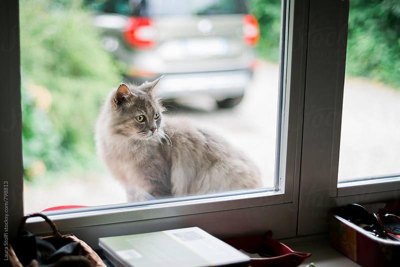 Handsome grey Persian cat looks inside the house through a window by Laura Stolfi for Stocksy United