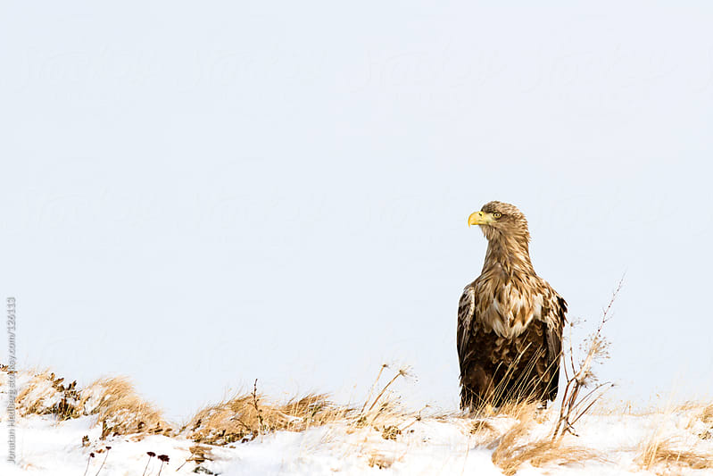 A white-tailed eagle is sitting on snow by Jonatan Hedberg for Stocksy United
