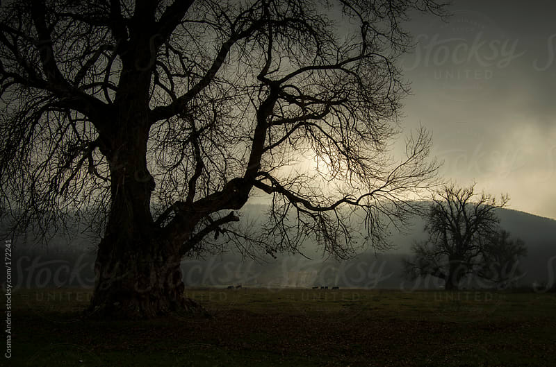 Dark giant tree on a meadow with fog and light by Cosma Andrei for Stocksy United