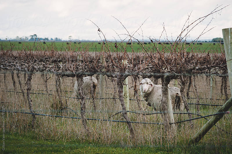 sheep in the vineyard, Coonawarra by Gillian Vann for Stocksy United