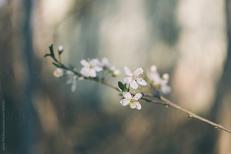 the first flowers of spring by Javier Pardina for Stocksy United