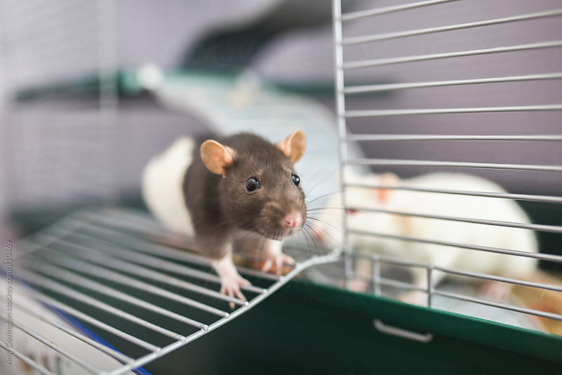Pet rats by Amy Covington for Stocksy United
