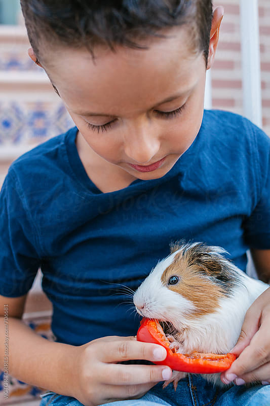 Cute Kid Feeding a Guinea Pig with a Red Pepper by VICTOR TORRES for Stocksy United