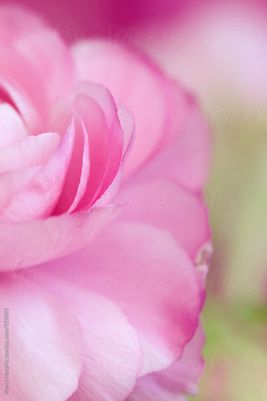Macro of partial pink ranunculus flower by Kerry Murphy for Stocksy United