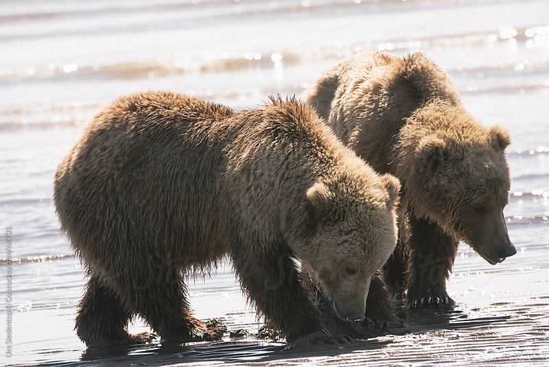 Brown Bear looking for mussels on beach in Alaska by Urs Siedentop & Co for Stocksy United