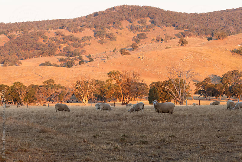 Sheep on an Australian Farm in Victoria by Gary Radler Photography for Stocksy United
