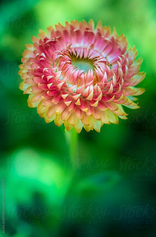 Strawflower by alan shapiro for Stocksy United