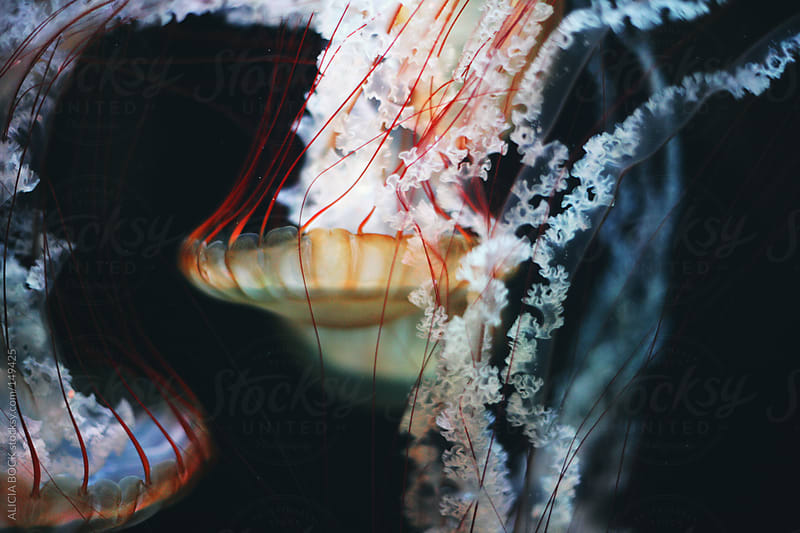 Jellyfish -  Horizontal by ALICIA BOCK for Stocksy United