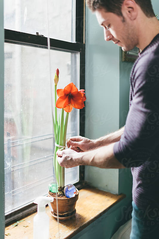 Man Tying Flower Top-heavy Amaryllis Plant with Ribbon by Joselito Briones for Stocksy United