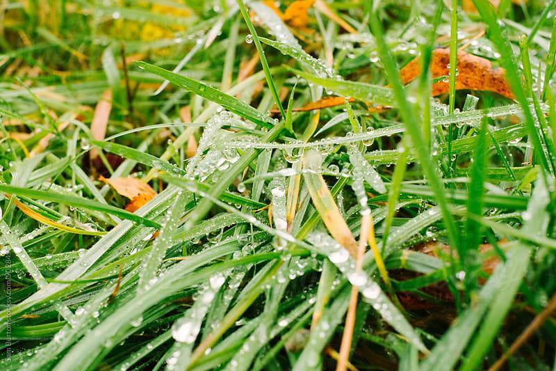 Dew drops on grass by Sam Burton for Stocksy United