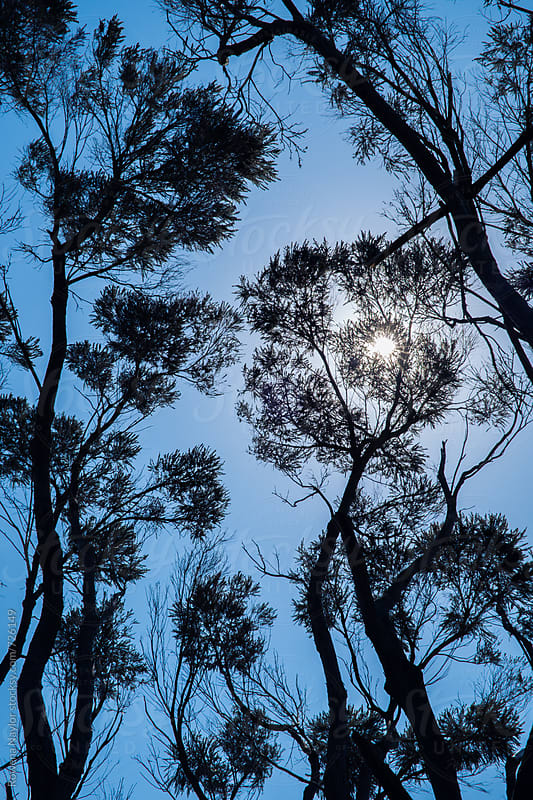 Looking up into Australian Gum Trees by Rowena Naylor for Stocksy United