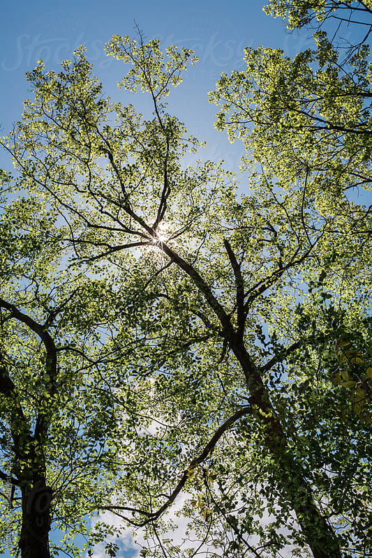 Tree canopy on bright spring day by Matthew Spaulding for Stocksy United