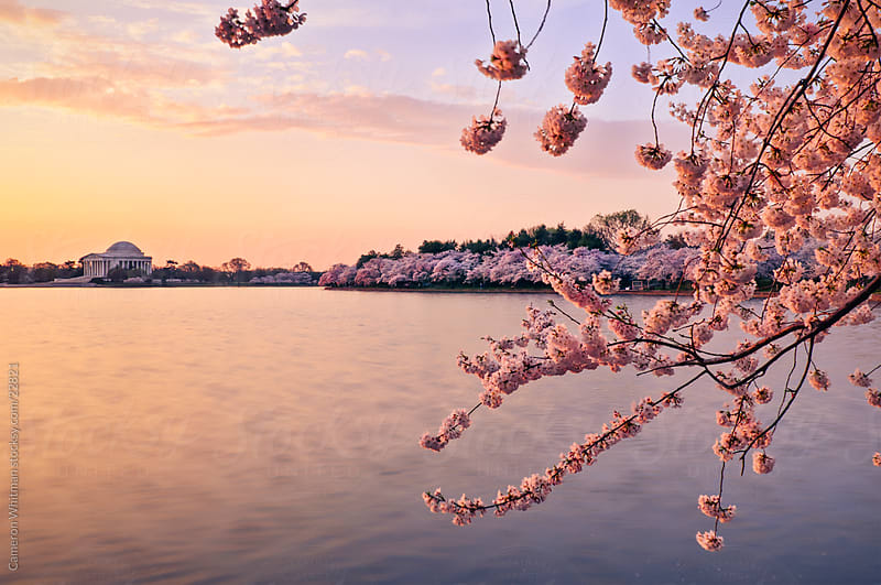 Cherry Blossom Sunrise  by Cameron Whitman for Stocksy United