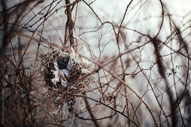 Empty Bird's Nest in Winter Bushes by Holly Clark for Stocksy United