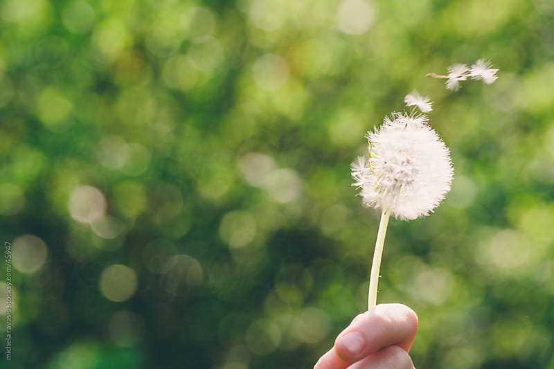 Dandelion on green grass background by michela ravasio for Stocksy United