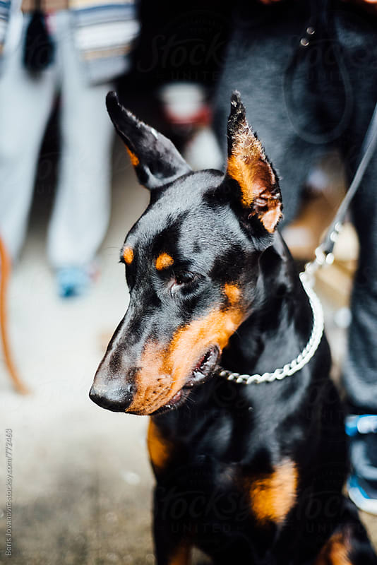Portrait of doberman sitting with a leash around his neck by Boris Jovanovic for Stocksy United