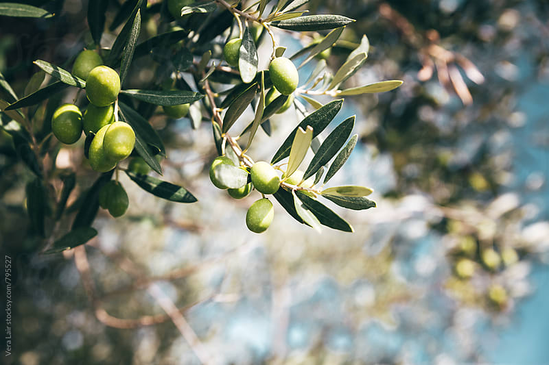 Olive on a branch by Vera Lair for Stocksy United