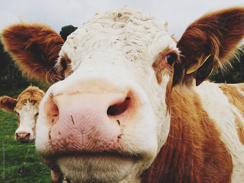 Cow Close Up by WAA for Stocksy United