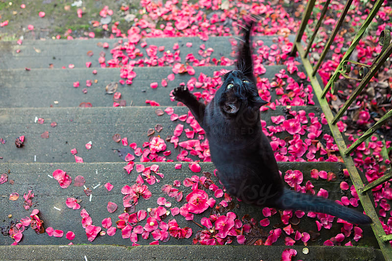 Black cat jumping up in the air from a concrete staircase covered in flower petals by Mihael Blikshteyn for Stocksy United