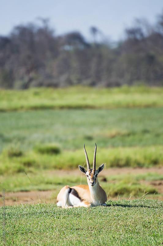 Thomson's gazelle by ACALU Studio for Stocksy United