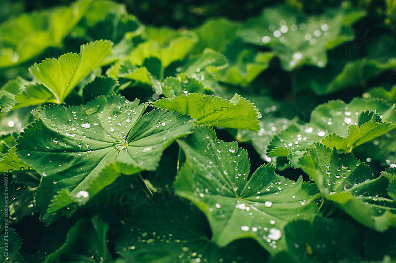 Green Leaves Covered with Water Drops by Claudia Lommel for Stocksy United