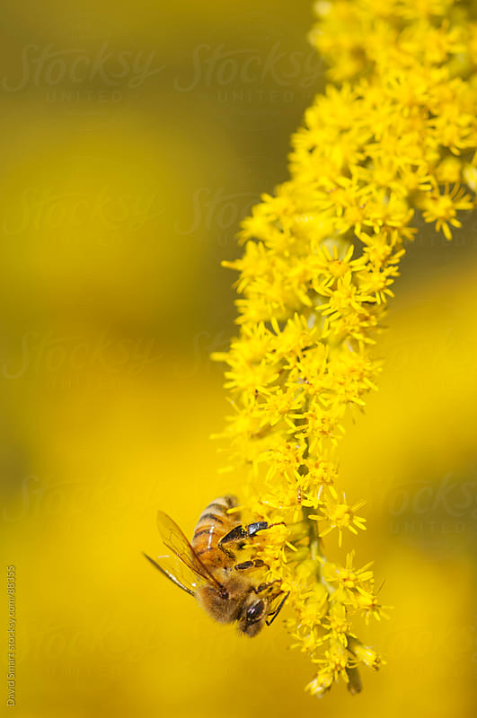 Honeybee on a goldenrod flower by David Smart for Stocksy United