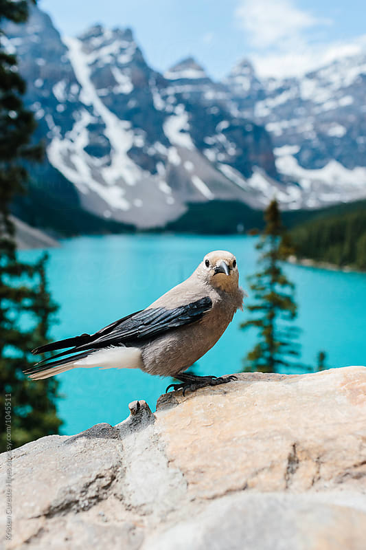 A bird looking at the camera with mountains in the background by Kristen Curette Hines for Stocksy United