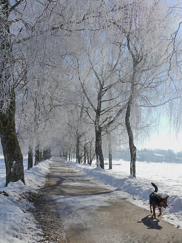 Dog walking on alley with frozen trees by rolfo for Stocksy United