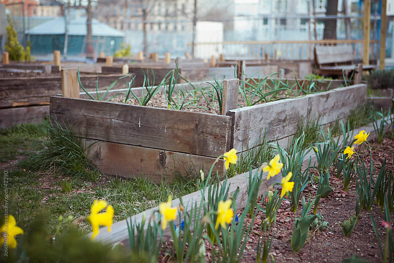 Urban Community Garden with Daffodils by Joselito Briones for Stocksy United