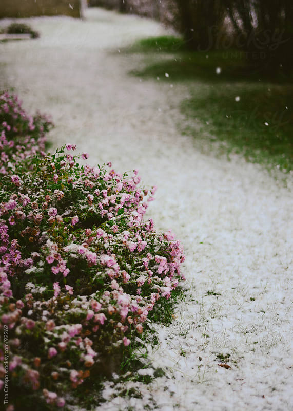 Snow on flowers by Tina Crespo for Stocksy United