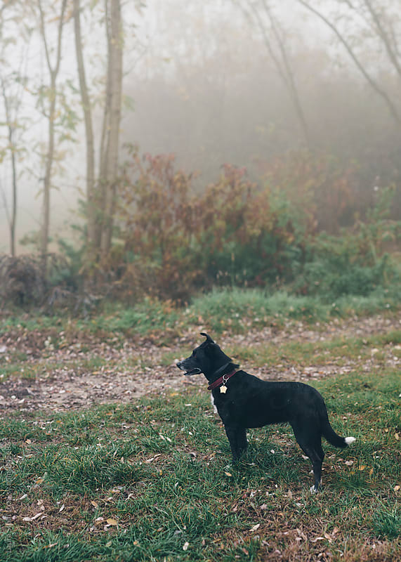 Wet crossbreed dog looks away at something in the fields in misty morning by Laura Stolfi for Stocksy United