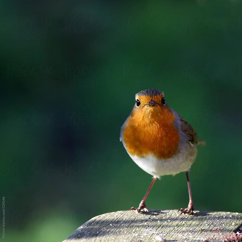 European robin on a wooden garden table by Marcel for Stocksy United