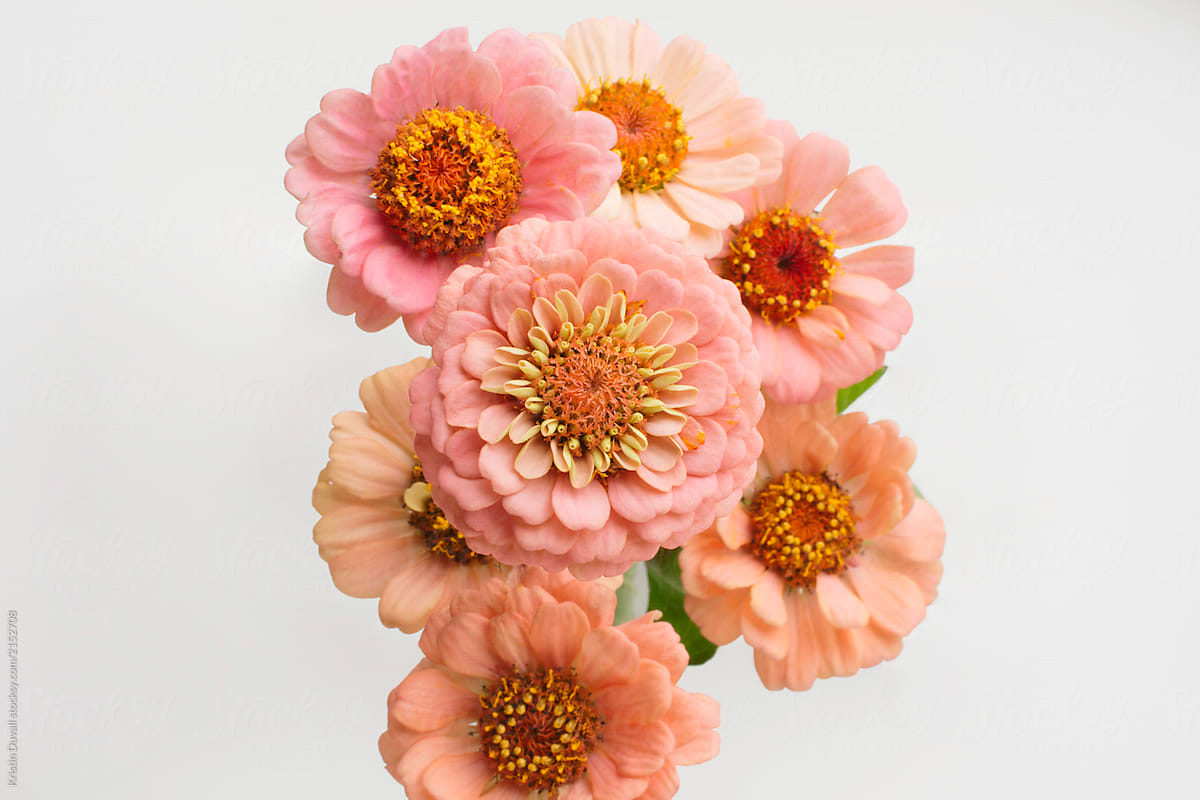 Zinnia Flowers On White Background By Kristin Duvall Flower Zinnia Stocksy United