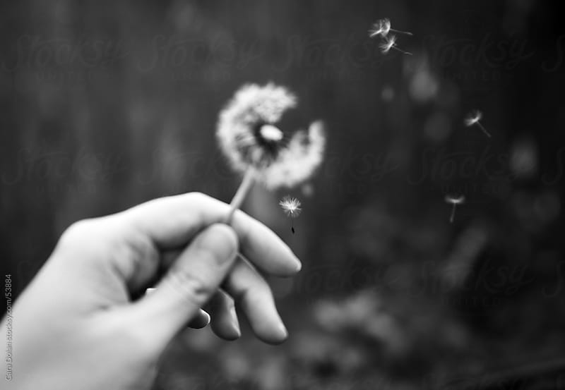 Woman's hand holds a dandelion flower as seeds fly away by Cara Slifka for Stocksy United