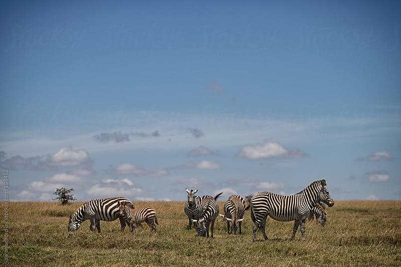 Grazing Zebras by aaronbelford inc for Stocksy United