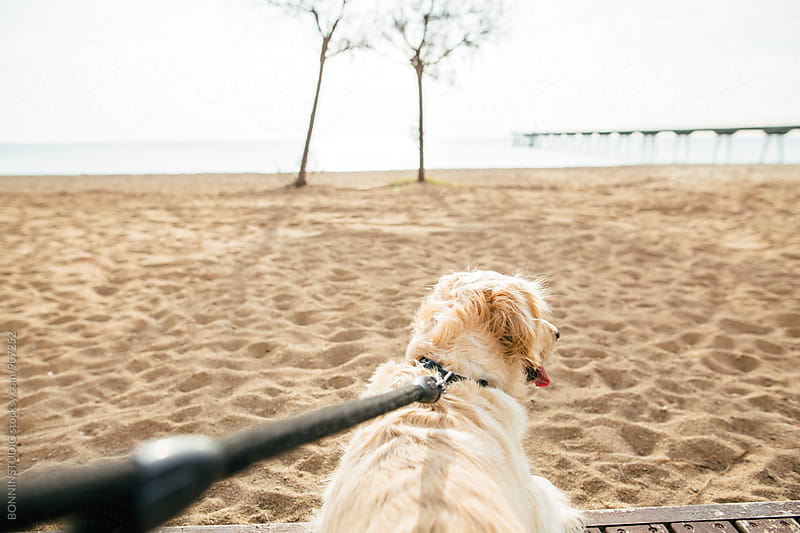 Back view of a dog pulling leash on the beach. by BONNINSTUDIO for Stocksy United