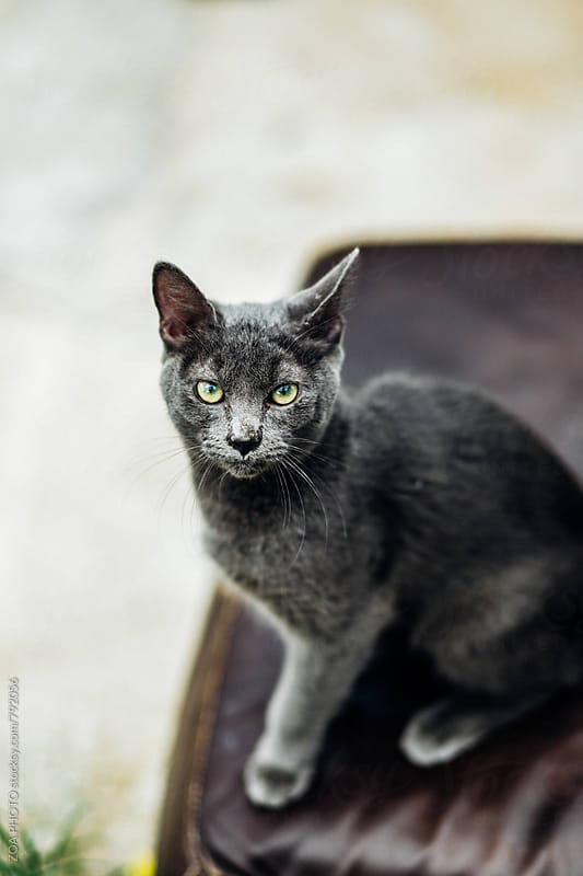 Camera aware gray cat by ZOA PHOTO for Stocksy United