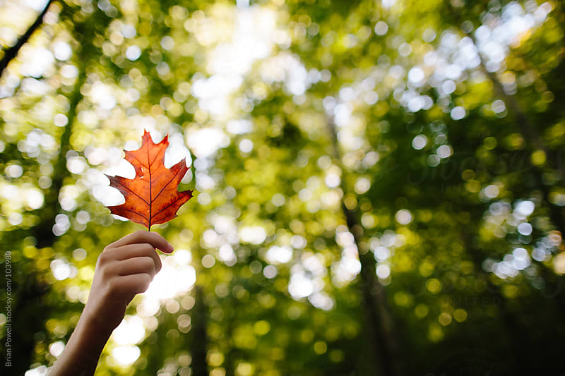 red oak leaf in autumn by Brian Powell for Stocksy United