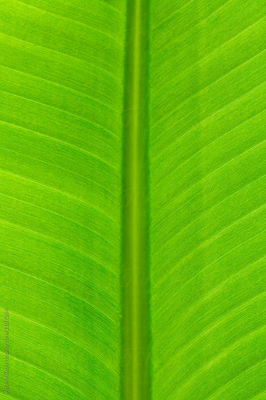 White bird of paradise leaf, macro