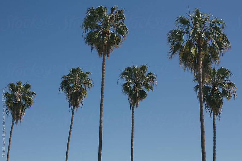 Californian palmtrees  by Melchior van Nigtevecht for Stocksy United