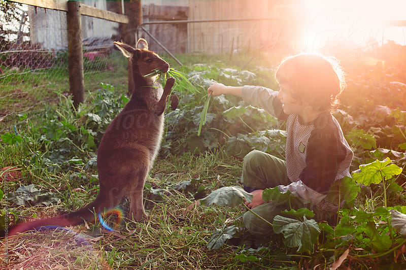 Young boy feeding a small kangaroo by Angela Lumsden for Stocksy United