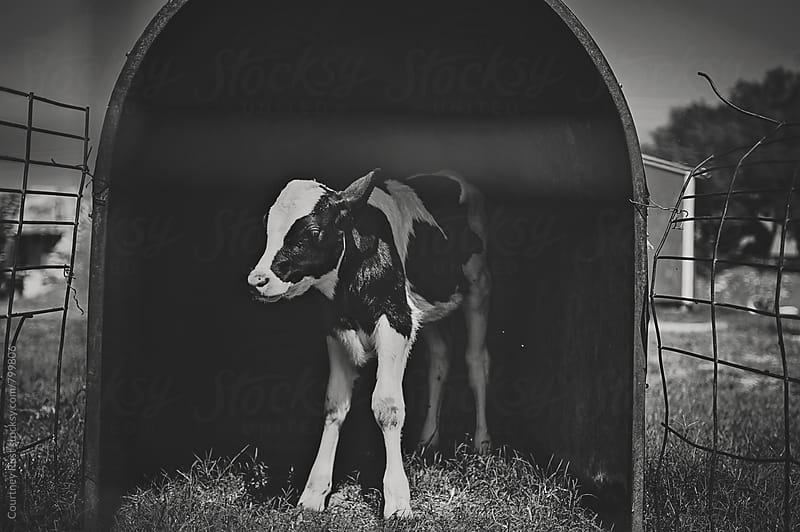 Baby holstein calf by Courtney Rust for Stocksy United
