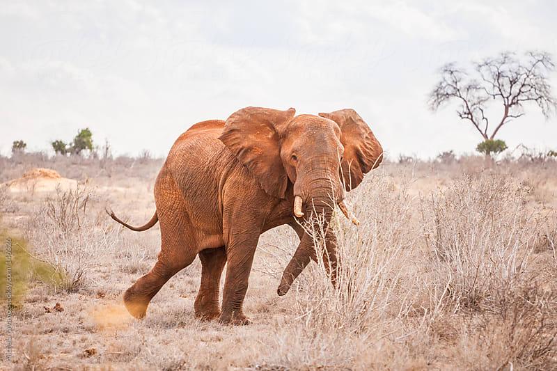 Elephant in the savannah by michela ravasio for Stocksy United