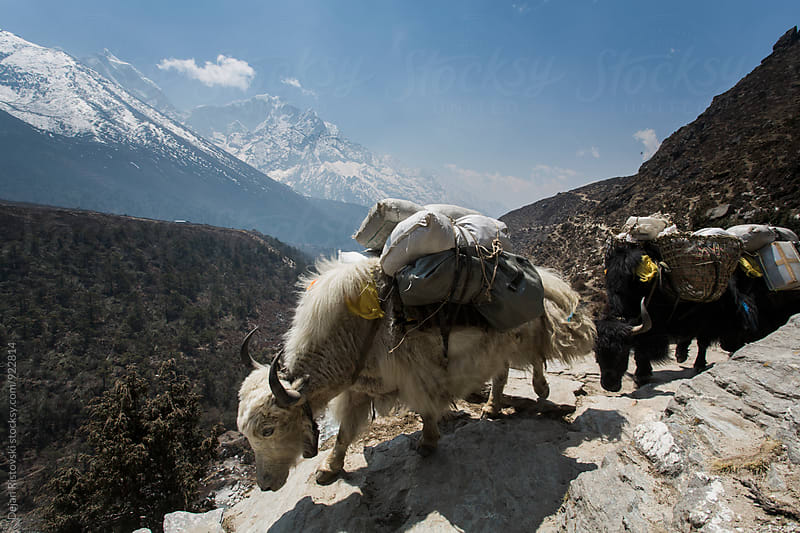 Yaks on the trail. by Dejan Ristovski for Stocksy United